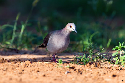 white-tipped dove_5876