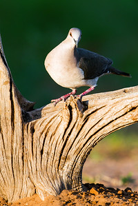 white-tipped dove_6064