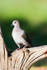 white-tipped dove_5829