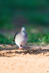 white-tipped dove_5819