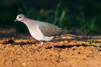 white-tipped dove_5883