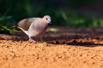 white-tipped dove_5858