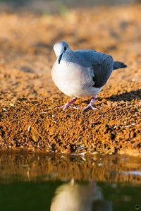 white-tipped dove_6068