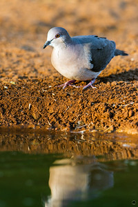 white-tipped dove_6070