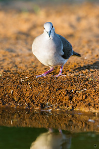 white-tipped dove_6071