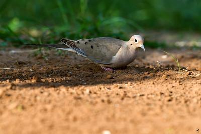 white-winged dove_5920