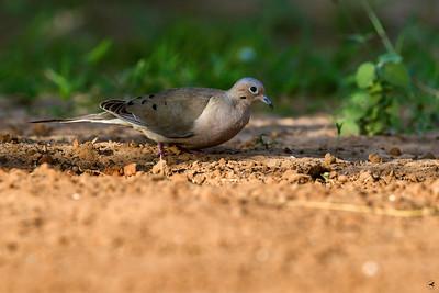 white-winged dove_5917