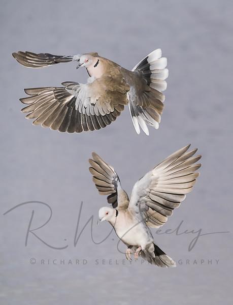 Dove Pair Prepare For Landing