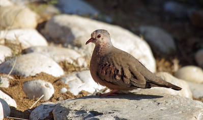Common Ground Dove (Columbina passerine)