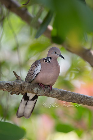 Spotted Dove, Singapore