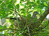Nesting White-winged Dove