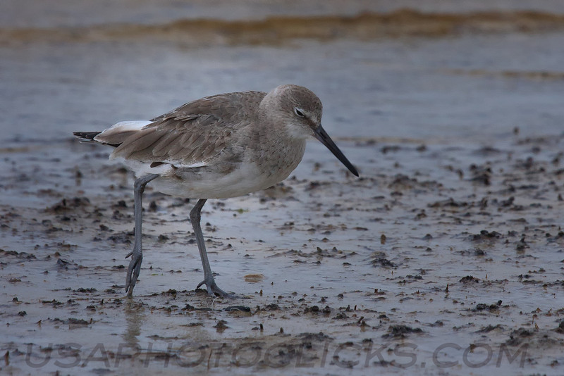 Long Billed Dowitcher (b0331)