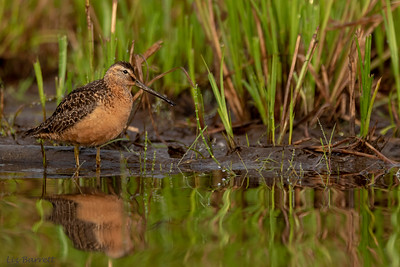 Long Billed Dowitcher_202A6520