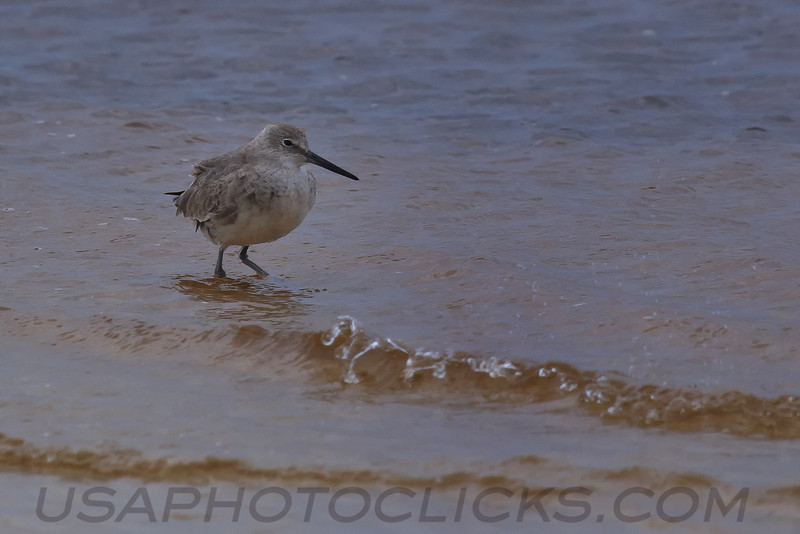 Long Billed Dowitcher (b0333)