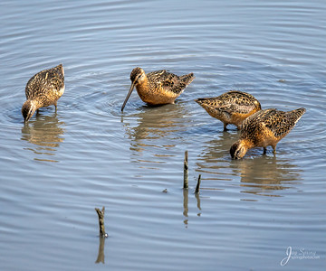 Long bille Dowitcher