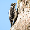 Downer Woodpecker