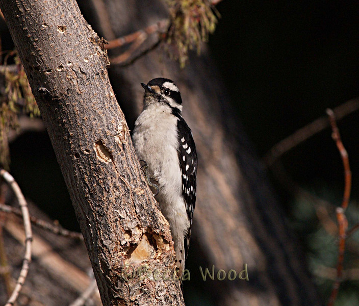 PP 09MY5515<br /> <br /> Female Downy Woodpecker.<br /> <br /> Male and female Downy Woodpeckers may stay in the same areas in winter, but they divide up where they look for food.
