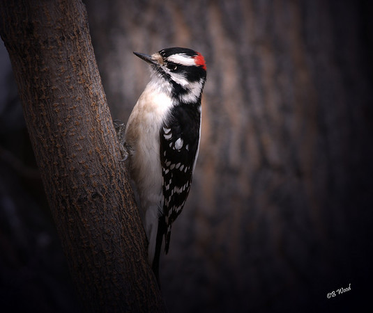PP 08MR7137 Male Downy Woodpecker (Picoides pubescens).