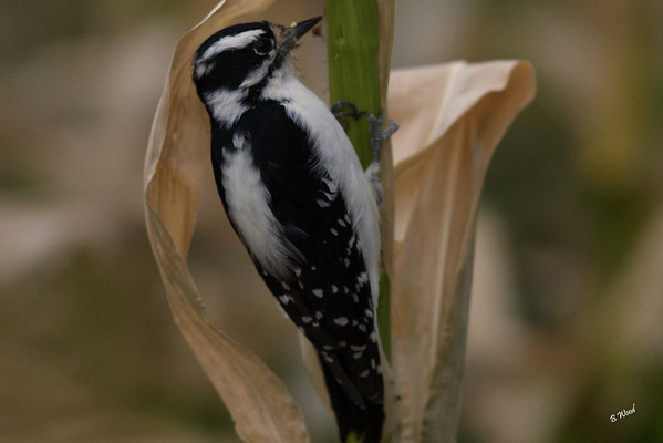 PP 07SP0618 Female Downy Woodpecker (Picoides pubescens).  This bird was pecking on the old cron stalks.