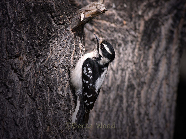 PP 09MY5378  Female Downy Woodpecker.