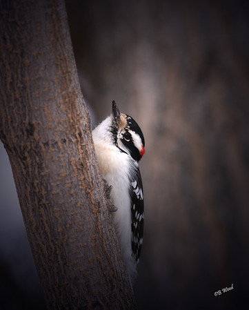 PP 08FB6331 Male Downy Woodpecker (Picoides pubescens).