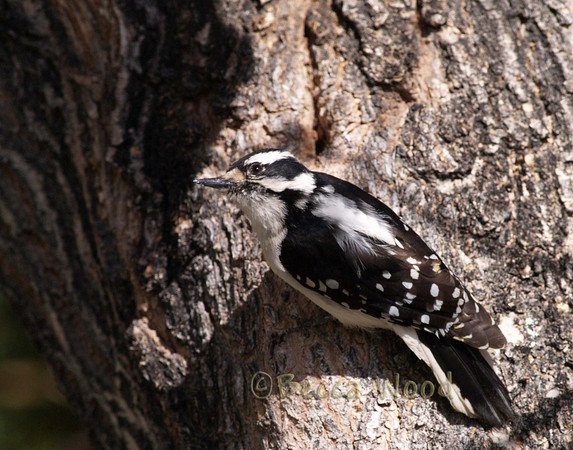 PP 09MY5343  The Downy Woodpecker uses sources of food that larger woodpeckers cannot, such as the insect fauna of weed stems. It will cling to goldenrod galls to extract the gall fly larvae. The woodpecker prefers larger galls, and uses the exit tube constructed by the larva to extract it.