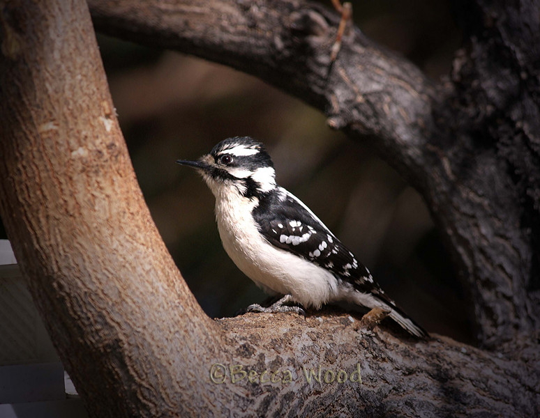 PP 09MY5365  Female Downy Woodpecker.  Downy's are very similar to Hairy Woodpeckers.  Notice the conspicuous tuft at the base of the bill, in Hairy Woodpeckers this is very inconspicuous and they have longer bills.