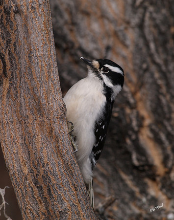 PP 08FB6361 Female Downy Woodpecker (Picoides pubescens).