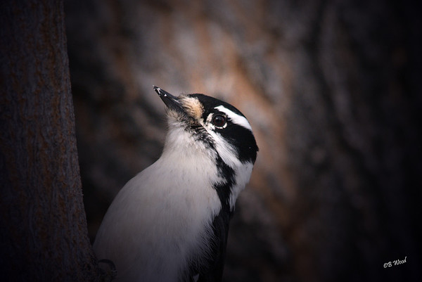 PP 08FB6353 Female Downy Woodpecker (Picoides pubescens).