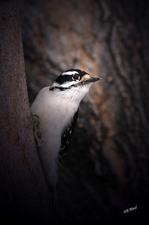 PP 08FB6352 Female Downy Woodpecker (Picoides pubescens).