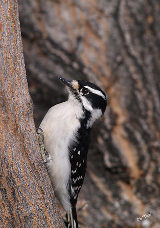PP 08FB6359 Female Downy Woodpecker (Picoides pubescens).