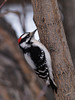 PP 08FB6332<br /> Male Downy Woodpecker (Picoides pubescens).