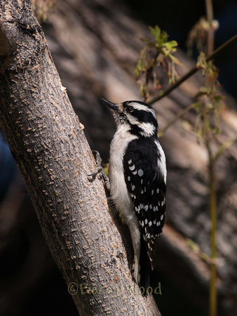 PP 09MY5341  Female Downy Woodpecker.