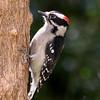 Downy Woodpecker<br /> 13 APR 2012