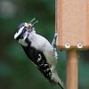 Downy Woodpecker<br /> 14 JUN 2011