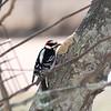 Pistol, our male Downy Woodpecker, enjoying the peanut suet spread