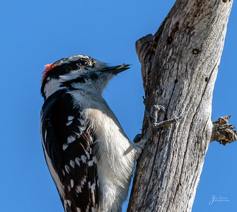 Downy Woodpecker with Bug