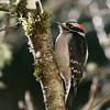 Downy Woodpecker<br /> 01 FEB 2011