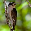 Downy Woodpecker<br /> 27 JUN 2009