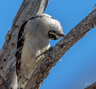 Downy Woodpecker Turned Around