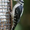 Downy Woodpecker<br /> 05 JUN 2009