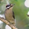 Downy Woodpecker<br /> 13 NOV 2007