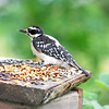 Shotsy, the female Downy Woodpecker, with her tongue sticking out.  Now Shotsy, your mama taught you better than that.