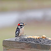 "Pistol, the male Downy Woodpecker, was reading to eat at the buffet.  ""Could I have some service please?"""