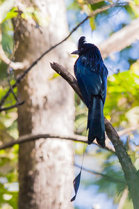 Greater Racket-tailed Drongo - Record - Pench National Park, Madhya Pradesh, India
