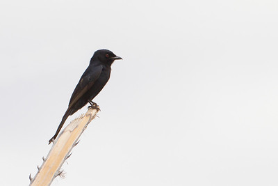 Square-tailed Drongo - Tarangire National Park, Tanzania