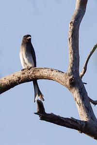 White-bellied Drongo - Pench National Park, Madhya Pradesh, India