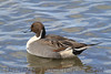 Northern Pintail (b1703)