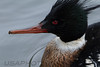 Red Brested Merganser (1367)