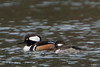 Hooded Merganser (b1354)